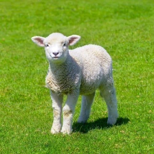 sheep toys and gifts